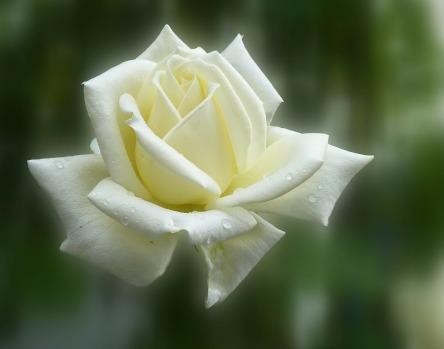 rose-140446_1920